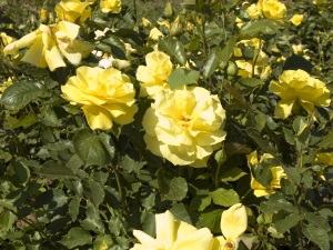 Shrub with yellow roses in garden.