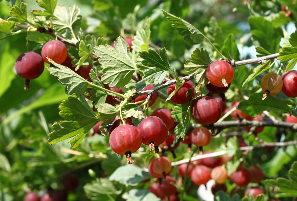 Gooseberry branch with ripe berries in summer garden