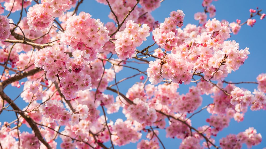 Cherry Blossoms filling the sky