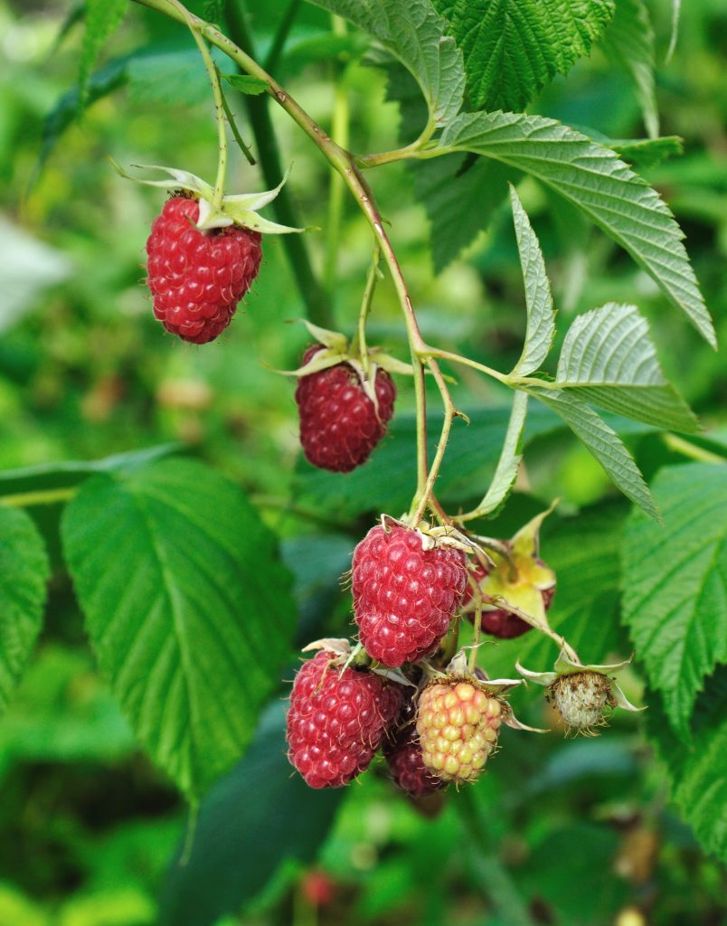 big red raspberries on a cane