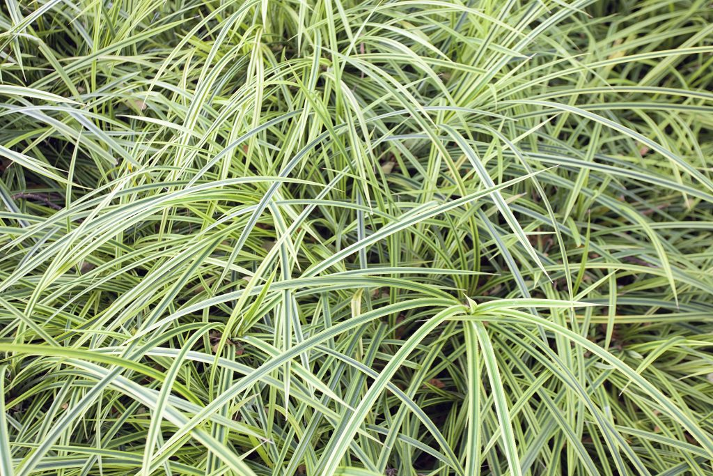 Variegated Monkey Grass Groundcover Background