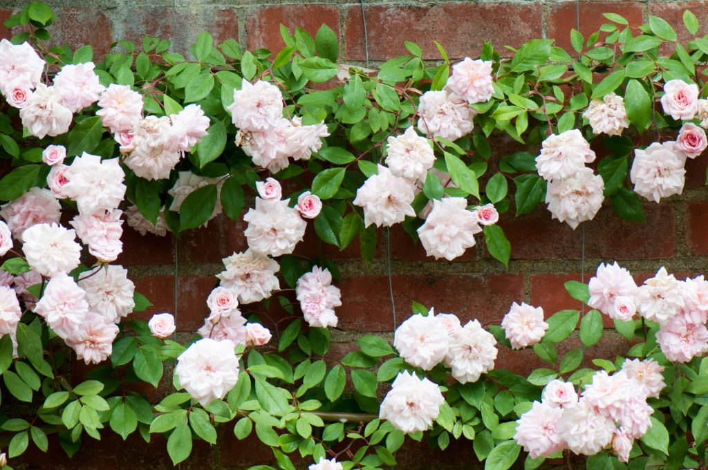 Pink roses on a brick wall